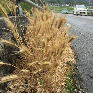 橋の端っこに自生していた六条大麦。ウイスキー作りに使用される麦は二条大麦なので、白州蒸留所とは関係ない(はず)