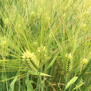 駅への帰途で見つけた六条大麦の畑。