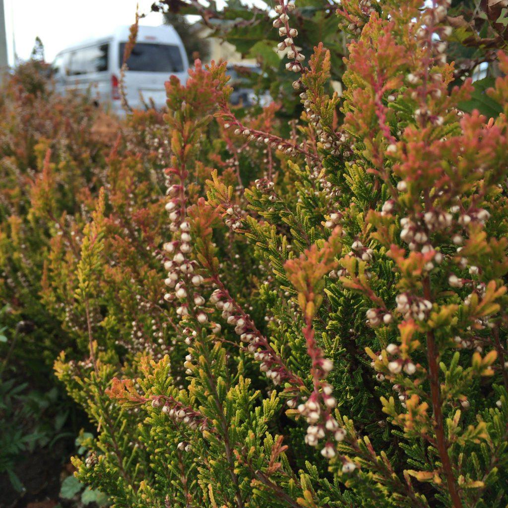 リタロードに植えられたヒースが旅路を彩ります。
