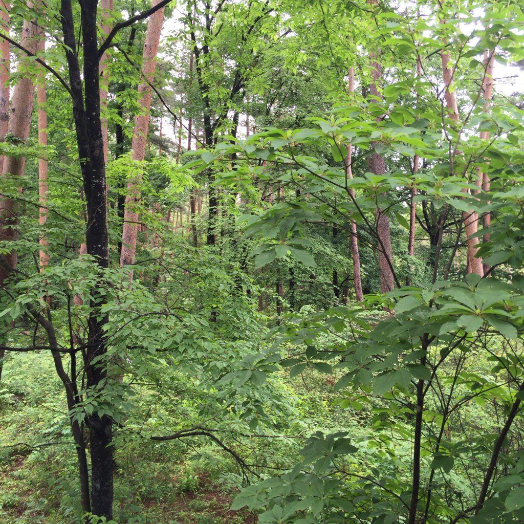 白州蒸溜所のバードサンクチュアリ。鬱蒼とした森が広がる。